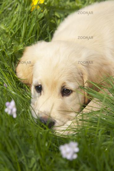 Golden Retriever puppy, resting on the grass