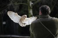 Tyto alba, Bran Owl,