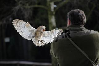 Schleiereule, Tyto alba, Bran Owl,