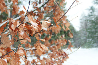 Dry oaken leaves covered with snow on branch of tree