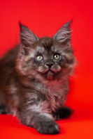Young female American Longhair Coon Cat of color black smoke lies on red background, looks at camera