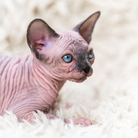 Canadian Sphynx Cat kitten with big blue eyes lying on white carpet