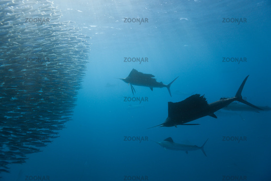 Atlantische Faecherfische jagen Sardinen
