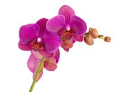 Orchid blossoms