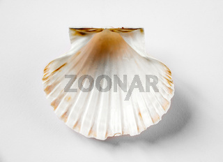 Scallop shell on white background