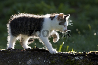 Kaetzchen auf Ast im Gegenlicht, kitten on branch in the back-light