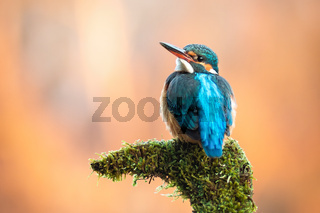 Cute female of common kingfisher sitting on moss-covered branch