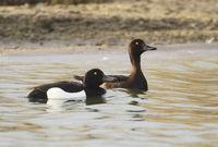 Tufted Duck (Aythya fuligula) Swimming on a Lake, Nordstrand Peninsula, Germany, Europe