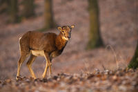 Female mouflon walking in forest in autumn sunlight