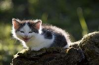 Cat, kitten laughing in the back light