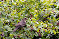 Common blackbird (Turdus merula)