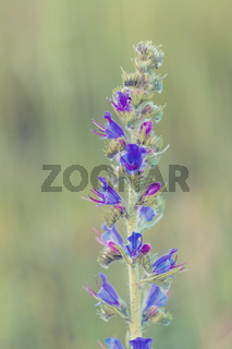 Beautiful wild flowers poisonous plant Echium vulgare