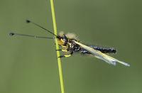 European Owlfly ((Libelloides coccajus),