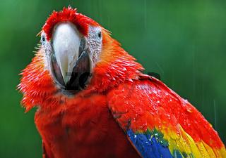 Ara im Regen, Papagei, macaw in the rain