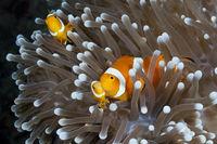 Orange-Ringel-Anemonenfische, Papua Neuguinea