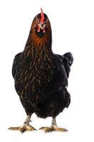 Black hen isolated on white
