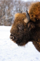 Fluffy head of adult european bison with snow in background