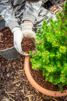 Garden and gardening - Mulching potted plants with pine bark againts to weeds