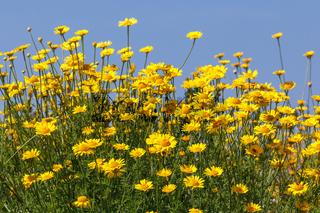 Blüten und Blätter der Färberkamille