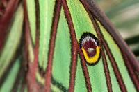 Graellsia isabellae Flügel