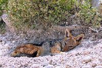 tired black-backed Jackal, Etosha, Namibia