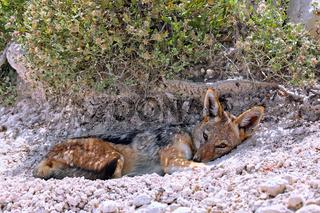 Müder Schabrackenschakal, Etosha, Namibia | tired black-backed Jackal, Etosha, Namibia