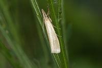 Weißer Graszünsler (Crambus perlella)