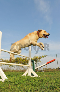 labrador retriever in agility