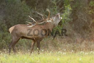 Red deer roaring on meadow in autumn rutting season