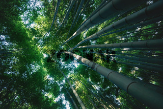 View into treetop of huge bamboo trunks in mystical forest at Arashiyama in Kyoto, Japan