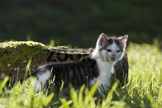 Kaetzchen im Gegenlicht, kitten in the back-light