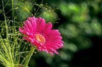 Pink gerbera flower blossom
