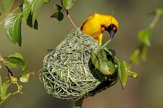 A male lesser masked weaver (Ploceus intermedius) sitting on its nest