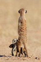 Alert meerkat (Suricata suricatta) with curious babies