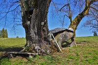 Allenspacher limetree natural monument on the Swabian Alb