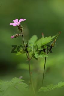 Ruprechtskraut (Geranium robertianum)