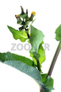 Sonchus asper, Dornige Gänsedistel, sharp-fringed sow thistle