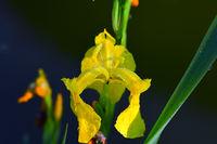 210610-237 Sumpfschwertlie, Yellow flag, Iris pseudacoris.jpg