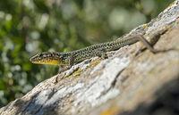 Male of Common wall lizard (Podarcis muralis), Charrat, Valais, Switzerland