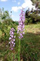 Mücken-Händelwurz (Gymnadenia conopsea)