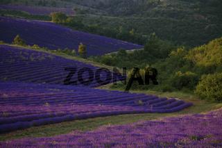 Lavendelfelder, Hochebene von Puimichel, Provence, France