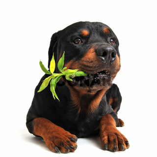 rottweiler and lucky bamboo