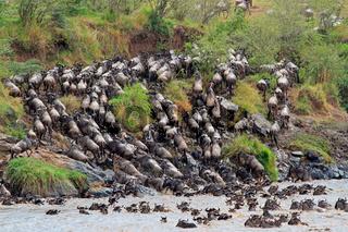 Blue wildebeest (Connochaetes taurinus) crossing the Mara river