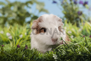 Tierkind Meerschweinchen Schweizer Teddy