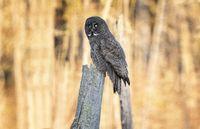 Great Grey Owl Saskatchewan