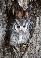 UK - Birds of Prey - Transforming Owl