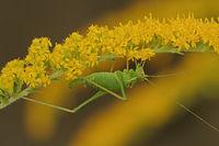 Speckled bush cricket (Leptophyes punctatissima)