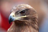 Head of an alert hawk