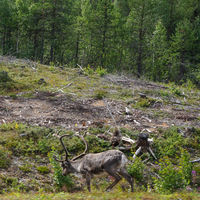 adult male reindeer with large antlers in the wilderness of the Finnish tundra forests