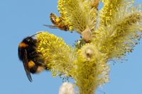 buff-tailed bumblebee and bee on a pussy willow